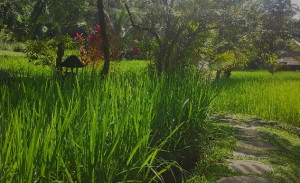 Rice paddy Tabanan2